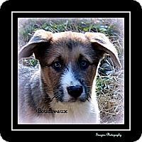 Adopt A Pet :: BEAUDREAUX - Bryan, TX