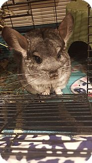 Chinchilla for adoption in Patchogue, New York - Daisy