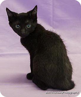 Domestic Shorthair Cat for adoption in Las Vegas, Nevada - Boxer