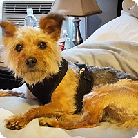 Adopt A Pet :: Oz - Acushnet, MA
