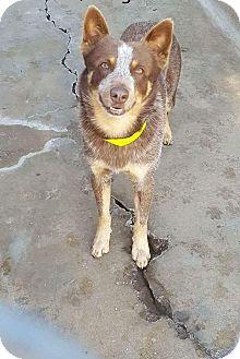 Australian Cattle Dog Mix Dog for adoption in Staunton, Virginia - Renegade