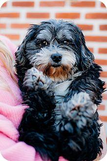 Tibetan Terrier/Havanese Mix Dog for adoption in Los Angeles, California - Velma