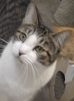 Domestic Shorthair Cat for adoption in Quail Valley, California - Pepper