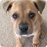 Adopt A Pet :: Bree - Leesville, SC