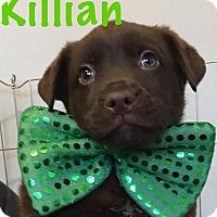 Adopt A Pet :: Killian-Pending! - Detroit, MI