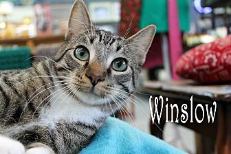 Domestic Shorthair Kitten for adoption in Wichita Falls, Texas - Winslow