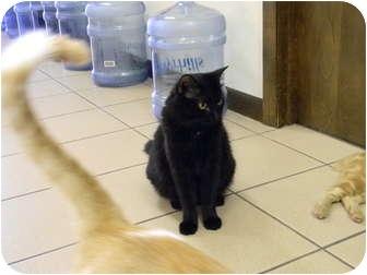 Domestic Longhair Cat for adoption in Naples, Florida - Tulip