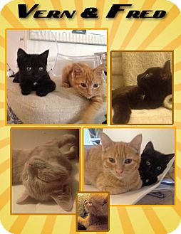 Domestic Shorthair Cat for adoption in Los Angeles, California - Vern and Fred