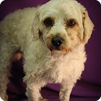 Adopt A Pet :: Bross - Broomfield, CO