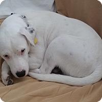Adopt A Pet :: Chief Junior - San Antonio, TX