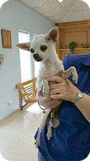 Chihuahua Mix Dog for adoption in Richardson, Texas - Sancho
