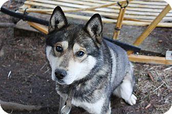 Siberian Husky Mix Dog for adoption in Cavan, Ontario - Bengi