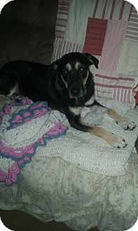 Shepherd (Unknown Type) Mix Dog for adoption in Overland Park, Kansas - Shadow