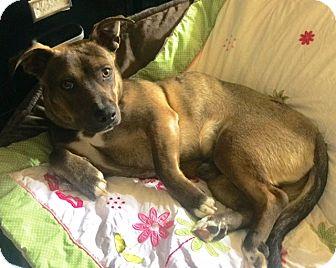 German Shepherd Dog/Basset Hound Mix Puppy for adoption in Murrieta, California - Shorty