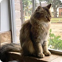 Adopt A Pet :: Maine Coon Mix (Sasha) - Houston, TX