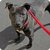 Adopt A Pet :: Cecilia - Troy, MI