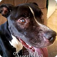 Adopt A Pet :: Sweet Pea - Tucson, AZ