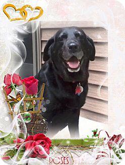 Labrador Retriever Mix Dog for adoption in Tipp City, Ohio - JoJo