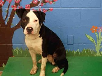 Pit Bull Terrier Mix Dog for adoption in Waco, Texas - SNOOP