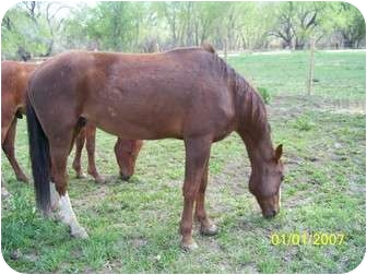 Standardbred/Quarterhorse Mix for adoption in Pueblo, Colorado - Cesar
