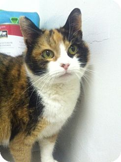 Calico Cat for adoption in Huntington Station, New York - ANNA