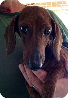 Dachshund Mix Dog for adoption in Gainesville, Florida - Lily