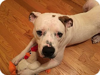 American Bulldog Mix Dog for adoption in nashville, Tennessee - Annie