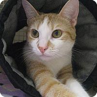 Adopt A Pet :: BRONKO - Brea, CA
