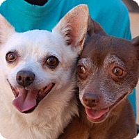 Chihuahua Mix Dog for adoption in Las Vegas, Nevada - Michael