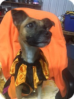 Terrier (Unknown Type, Medium) Mix Dog for adoption in Henderson, Kentucky - roxie