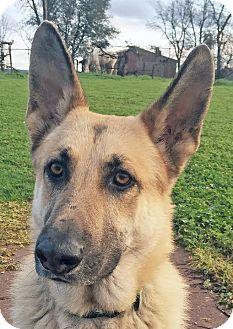 German Shepherd Dog Mix Dog for adoption in Walnut Creek, California - Daryl