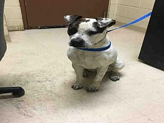 Pit Bull Terrier Dog for adoption in Rogers, Arkansas - LILLY