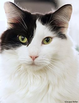Domestic Mediumhair Cat for adoption in St Louis, Missouri - Dice