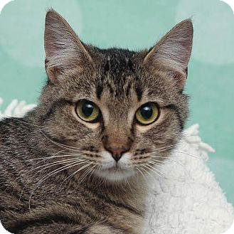 Domestic Shorthair Cat for adoption in Chippewa Falls, Wisconsin - Nick
