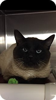 Siamese Cat for adoption in Seville, Ohio - Rex