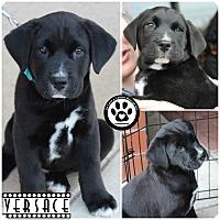 Adopt A Pet :: Versace - Kimberton, PA