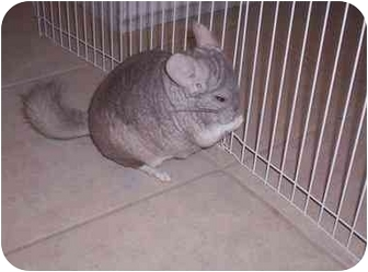 Chinchilla for adoption in Avondale, Louisiana - Chintzie