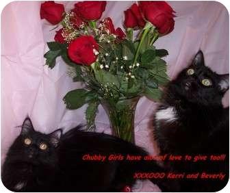 Domestic Longhair Cat for adoption in Harrisburg, North Carolina - Beverly
