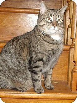 Domestic Shorthair Cat for adoption in Cambridge, Ontario - Austin