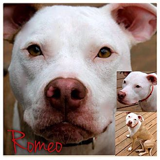 American Pit Bull Terrier Mix Dog for adoption in Garden City, Michigan - Romeo