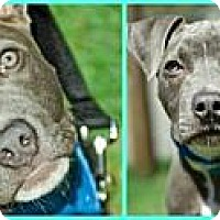 Adopt A Pet :: Roman - Hillsborough, NJ