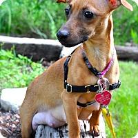 Adopt A Pet :: Chiclet - Austin, TX