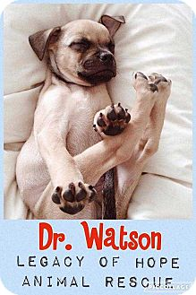 Pug Mix Puppy for adoption in Broken Arrow, Oklahoma - Dr. Watson