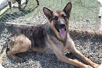 German Shepherd Dog Dog for adoption in San Pablo, California - RILEY