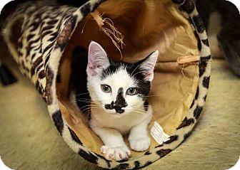 Domestic Shorthair Kitten for adoption in Trevose, Pennsylvania - Piper