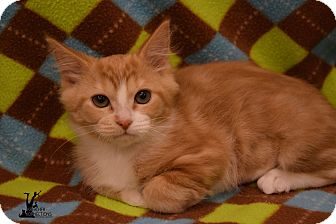 Domestic Shorthair Kitten for adoption in Flushing, Michigan - Mandy 2
