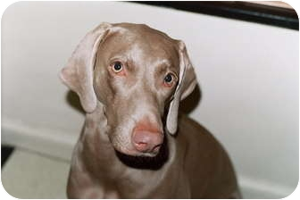 Weimaraner Dog for adoption in Attica, New York - Maggy (and Willy!)