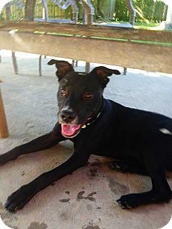 Labrador Retriever Mix Puppy for adoption in Silsbee, Texas - Morris