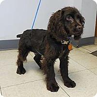 Adopt A Pet :: Baxter Spaniel - Shawnee Mission, KS