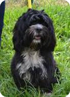 Havanese Mix Dog for adoption in Miami, Florida - Rocky